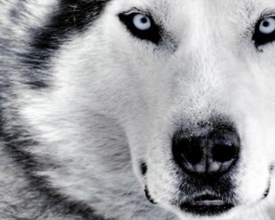 Un lobo sin lágrimas